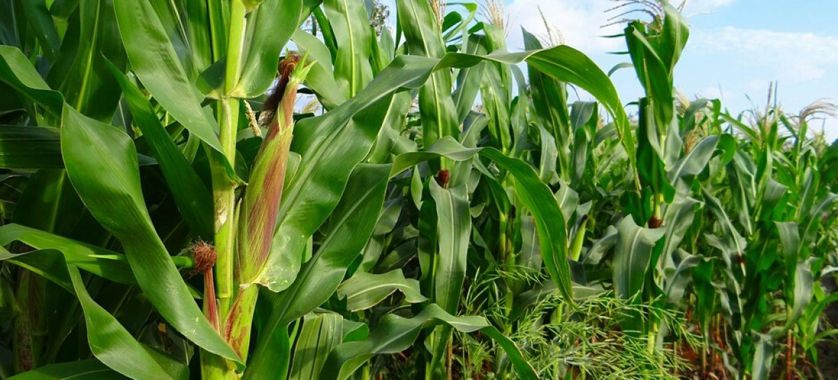 CBN Maize Import Ban Ill-timed, May Cripple Poultry Sector – University Don