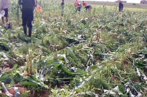 Lalong appalled by willful destruction of farm crops: Orders arrest of perpetrators